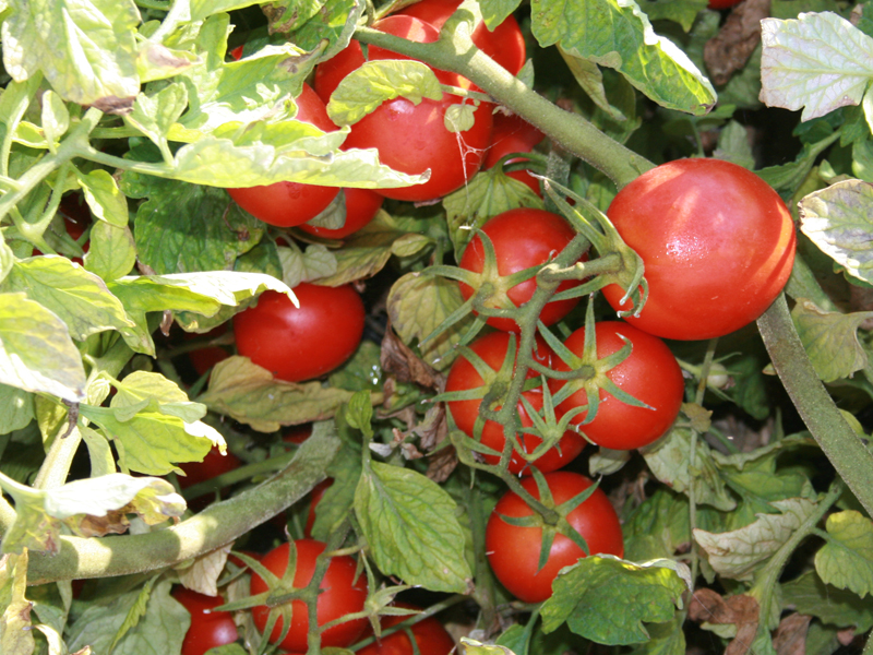 Pomodori biologici in vendita nel negozio bio online san francesco