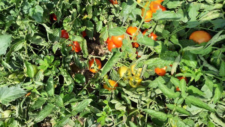 pomodori bio san francesco